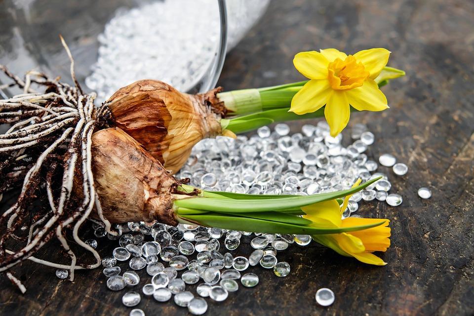 Нарциссы хороши и тем, что размножаются быстро: