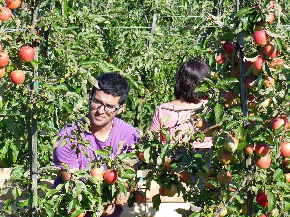 люди собирают урожай яблок