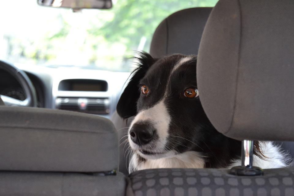 собаки сидит в машине в кресле