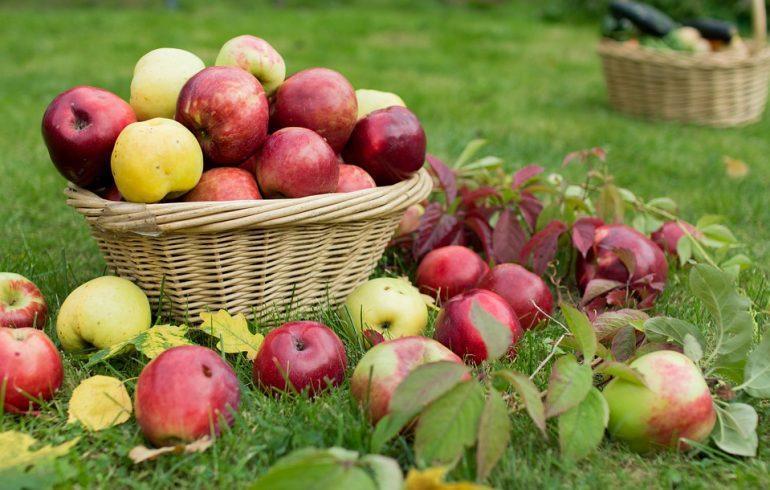 Собираем урожай зимних сортов яблок