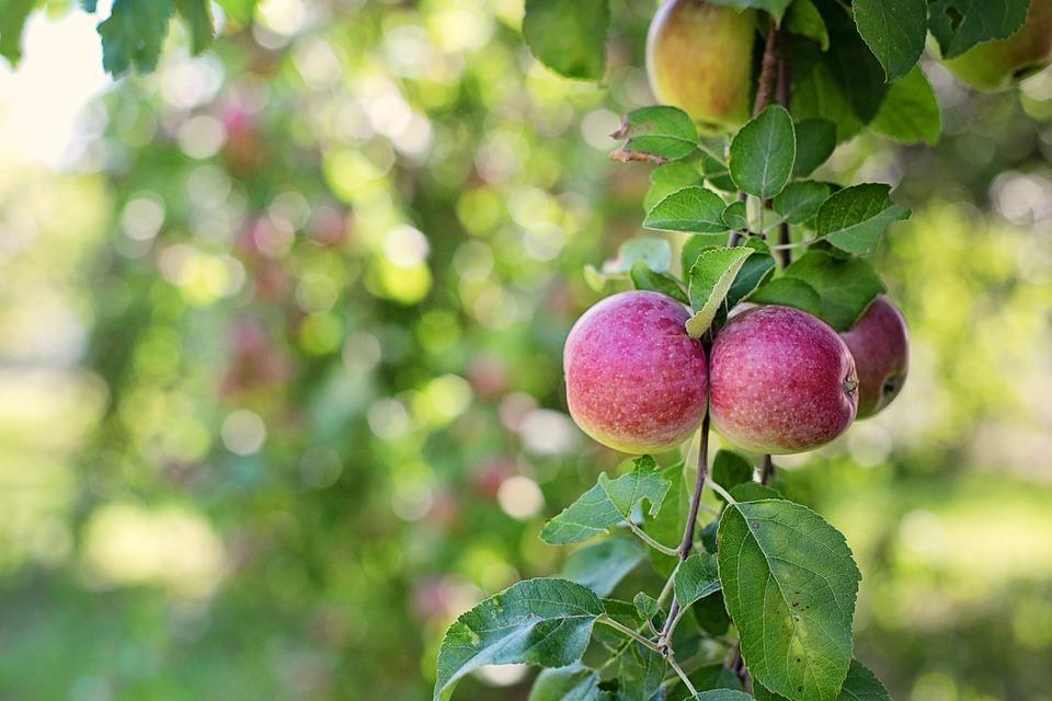 яблоня с урожаем яблок в саду