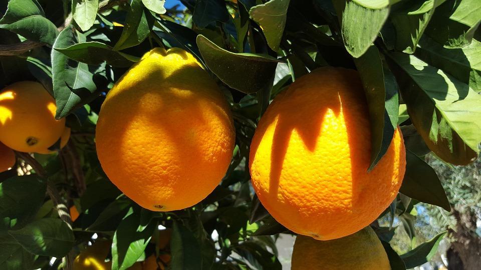 апельсины растут на дереве