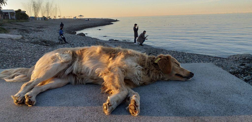 собака спит в Батуми у моря
