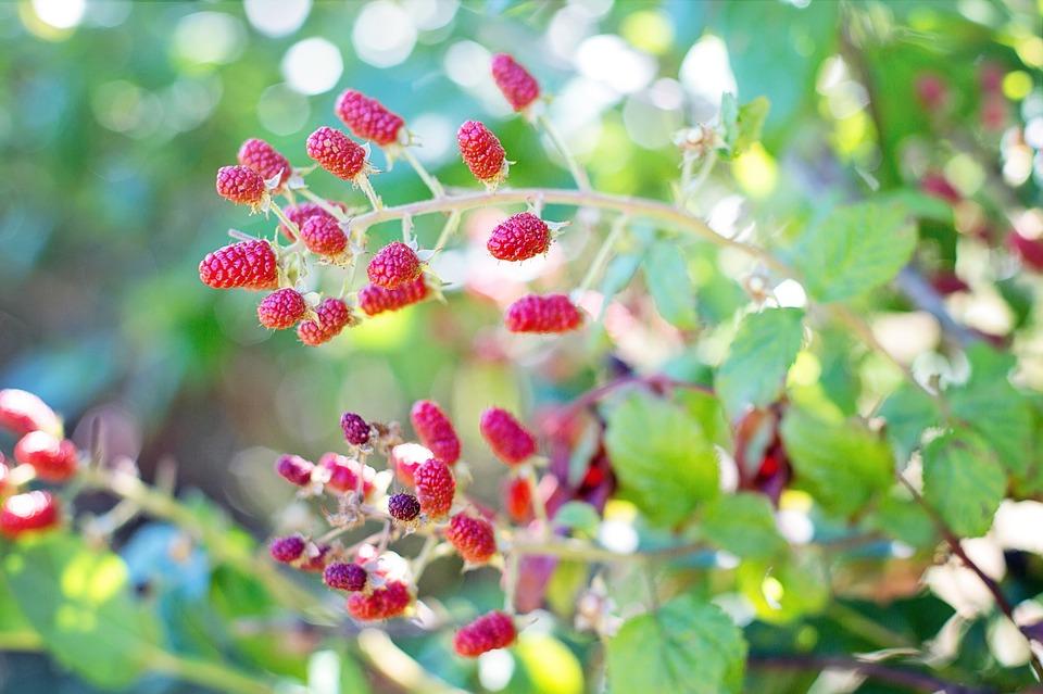 ягоды малины на кусте в саду