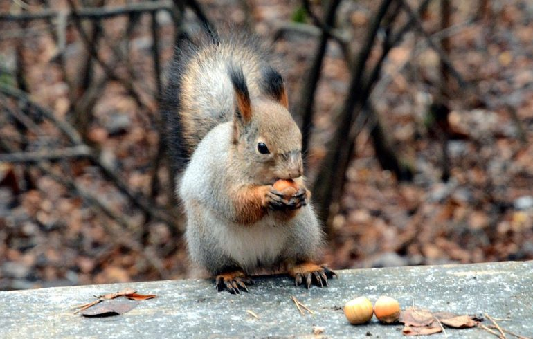 белочка ест орехи в лесу