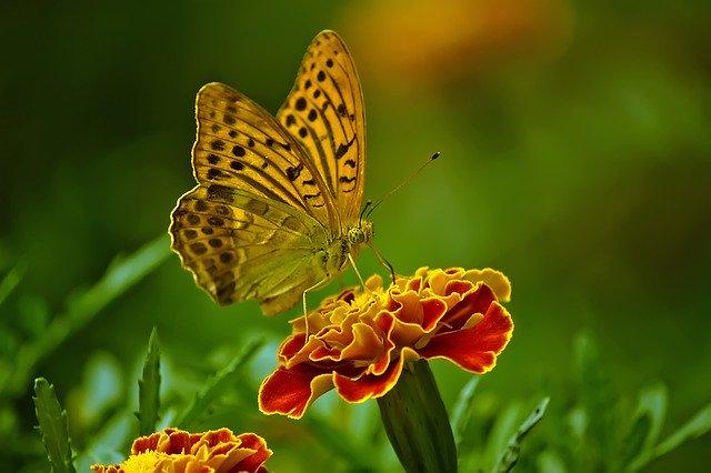бабочка сидит на бутоне цветка