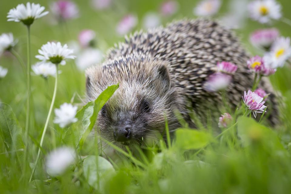 ежик сидит в траве на даче