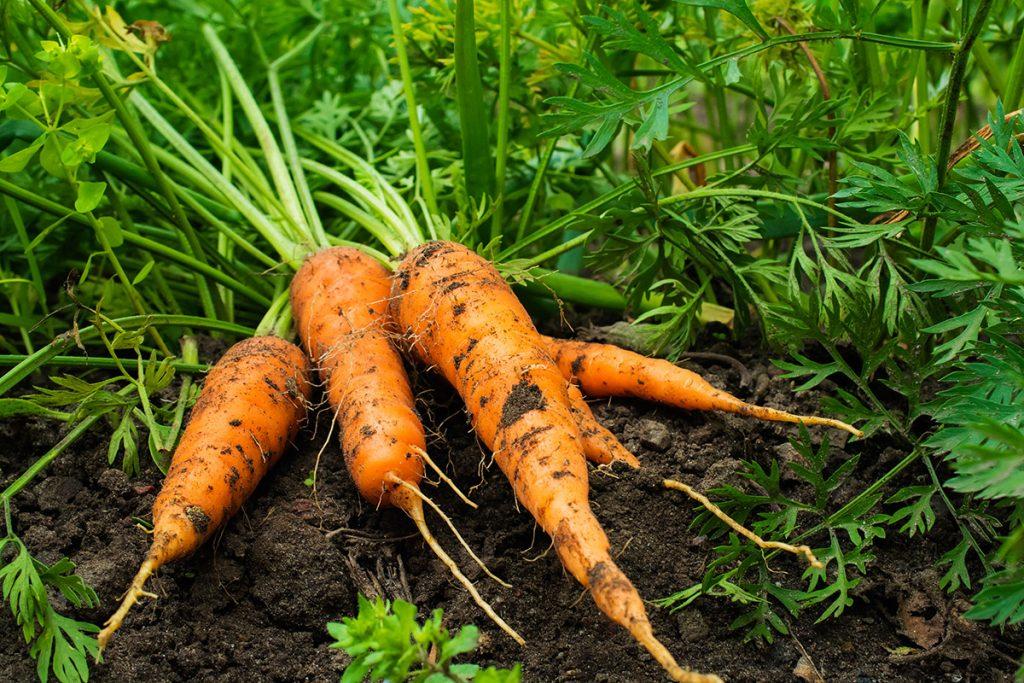 морковь на грядках