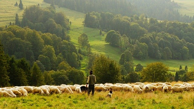выпас скота на пастбище