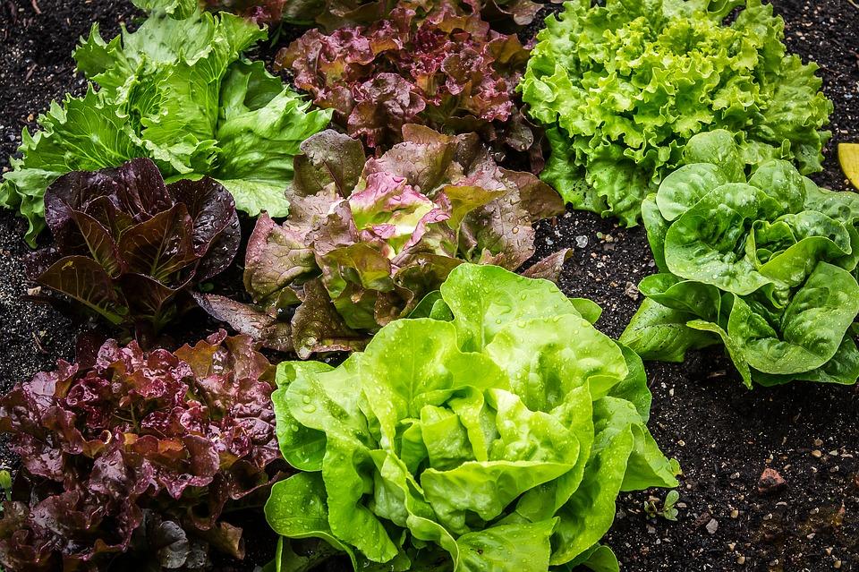 салат растет на грядке