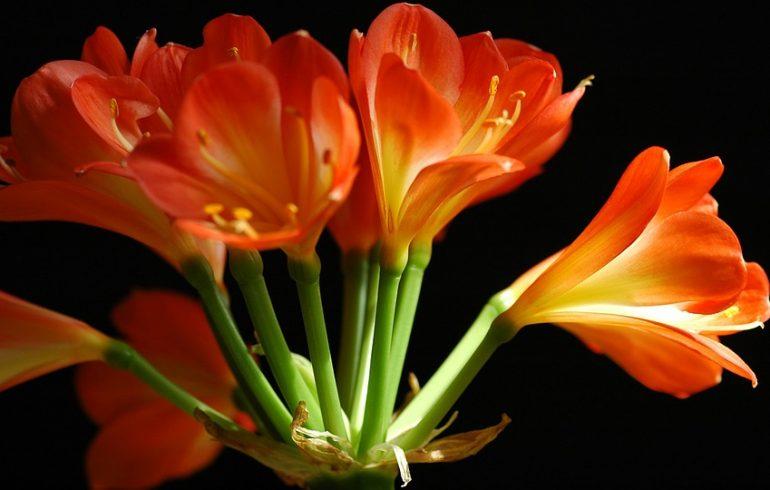 цветы кливии