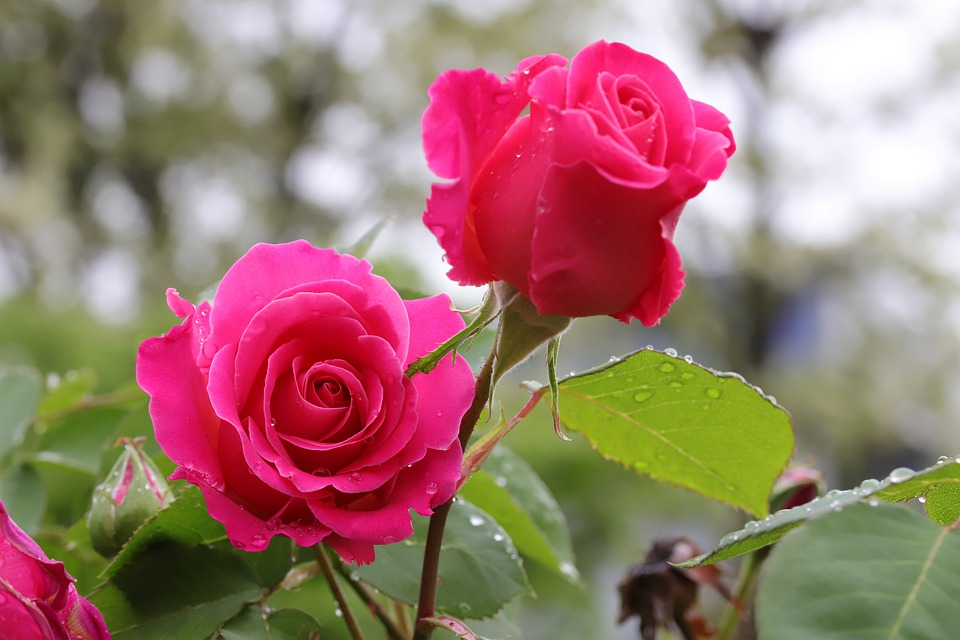 Аристократка на грядке: сажаем розы