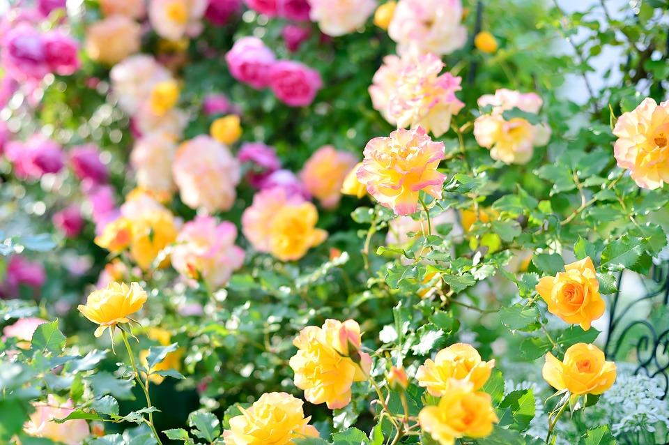 желтые и розовые розы