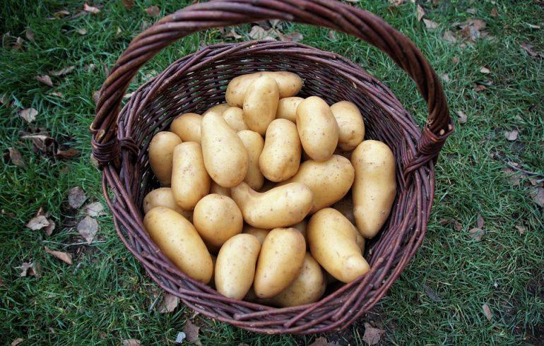 Как картошка попала на наш стол