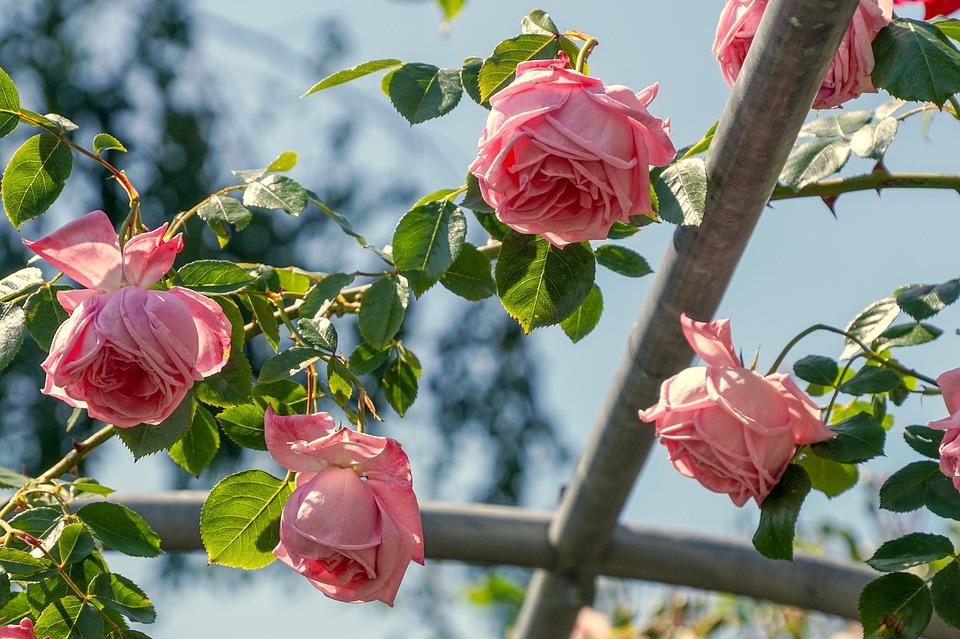 розовые розы на изгороди