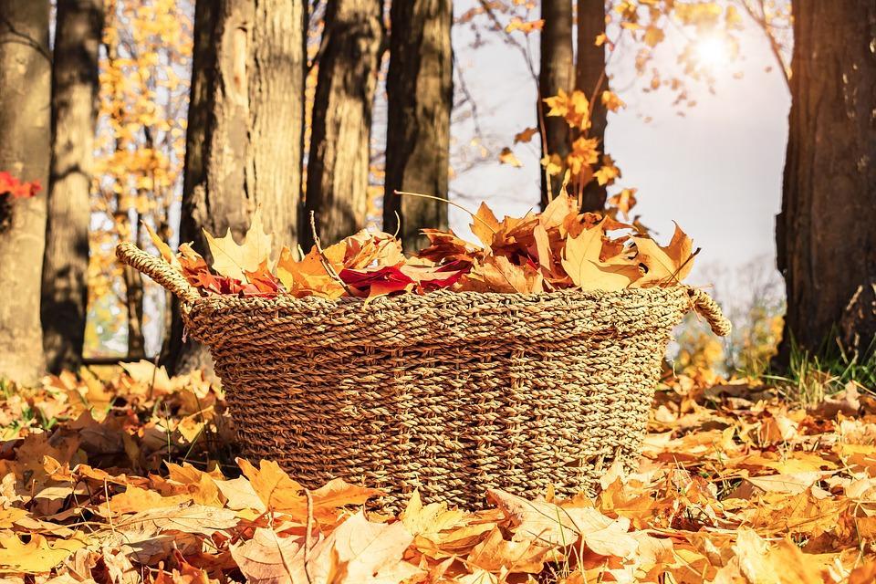 кленовые листья осенью в корзине