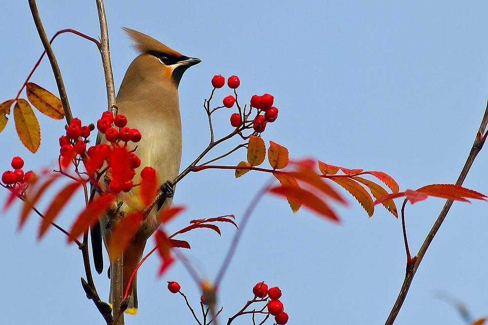 птица есть ягоды красной рябины