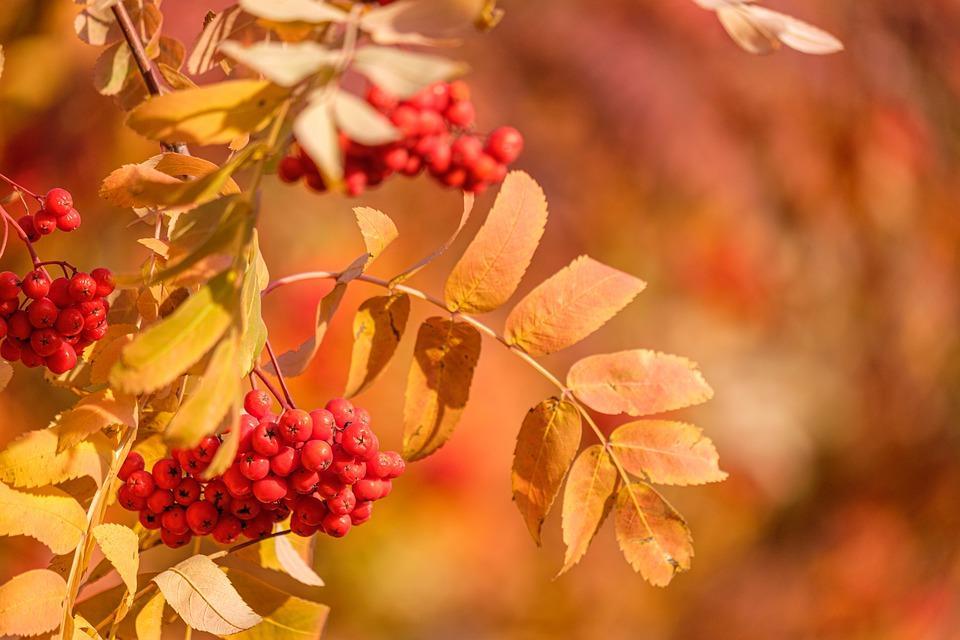 красная рябина в осеннем лесу