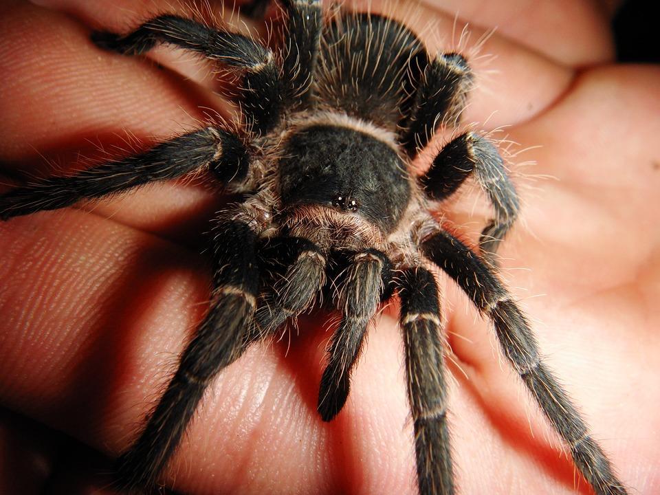 паук птицеед на ладони