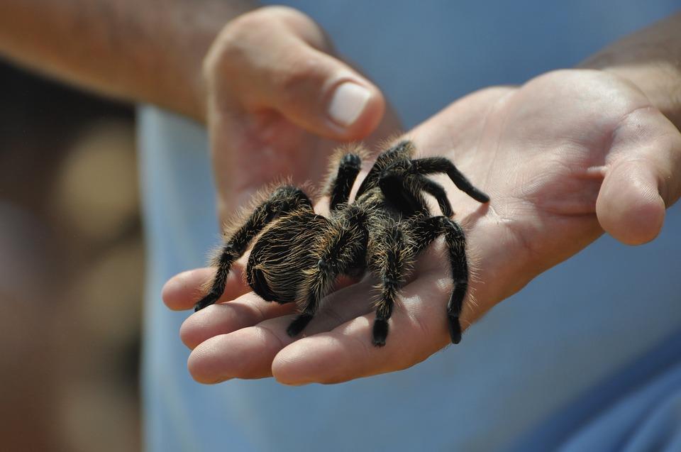 держать паука птицееда в руках