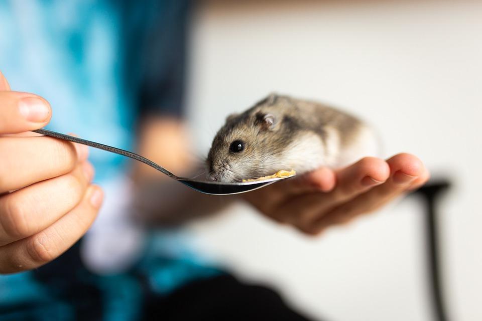 хозяин кормит хомячка из ложки