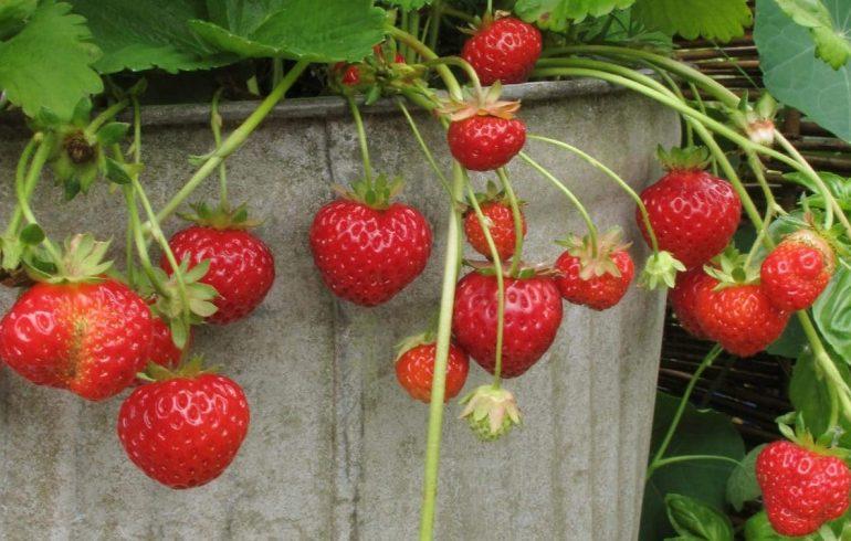 выращиваем клубнику в бочке на даче