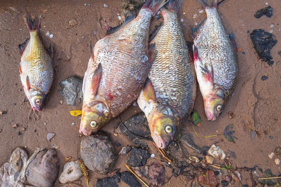 улов на рыбалке лещи