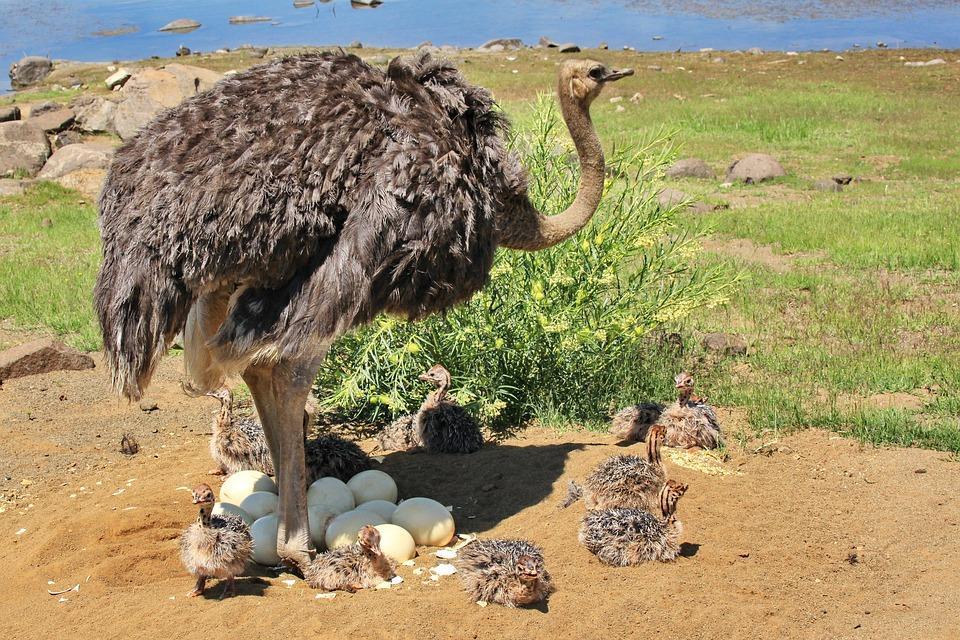 страус и ее малыши и яйца