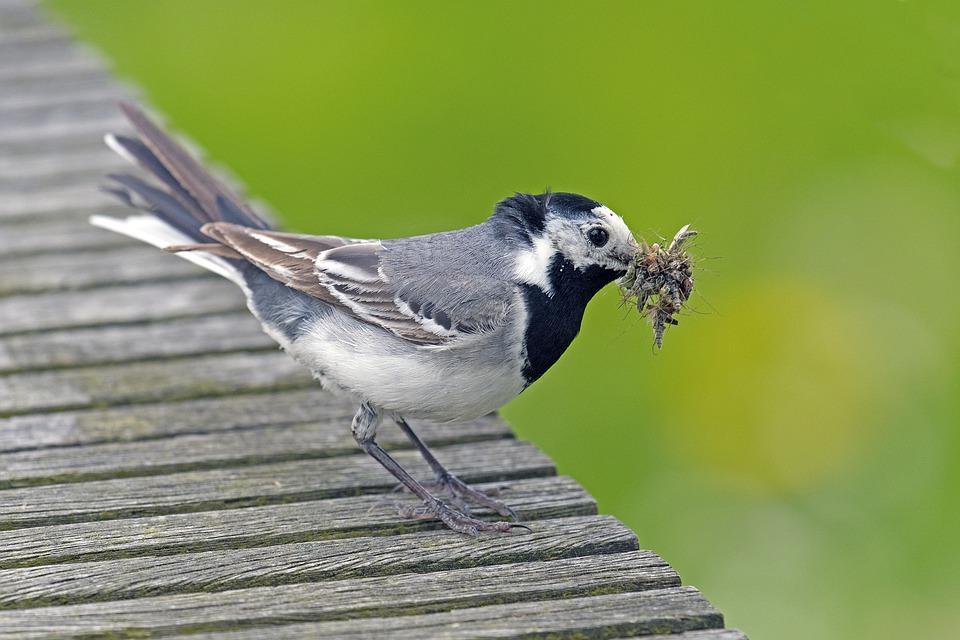 птица трясогузка