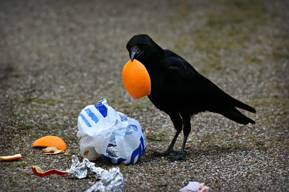 ворона ест апельсин